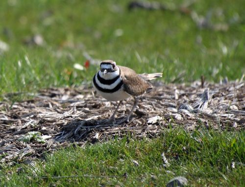 Killdeer 1