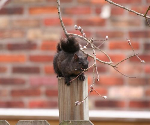 Eastern Gray Squirrel - Black