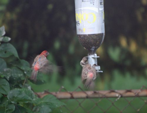 House Finch - In Action