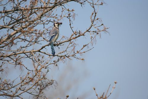 Blue Jay - Female