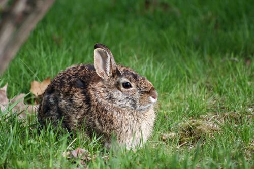 Eastern Cottontail 4