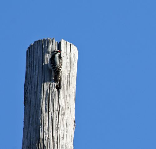 Downey Woodpecker3a