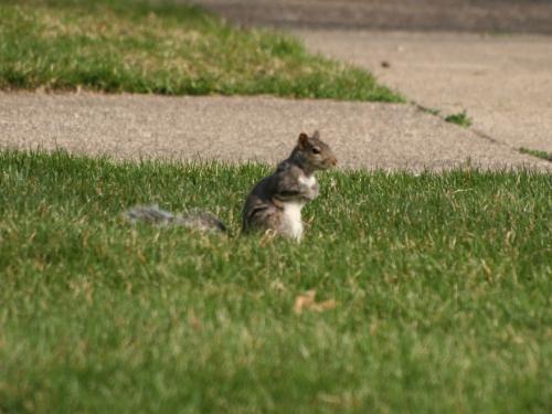 Eastern Gray Squirrel - Gray 3