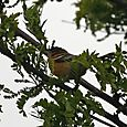 Northern Oriole - Female