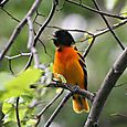 Northern Oriole - Male