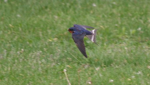 Barn Swallows 4
