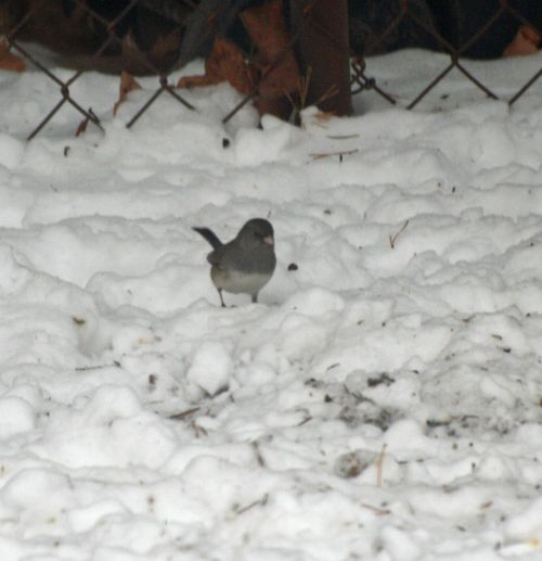 Dark-eyed Junco Winter 2