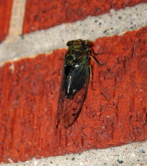 Cicada 7
