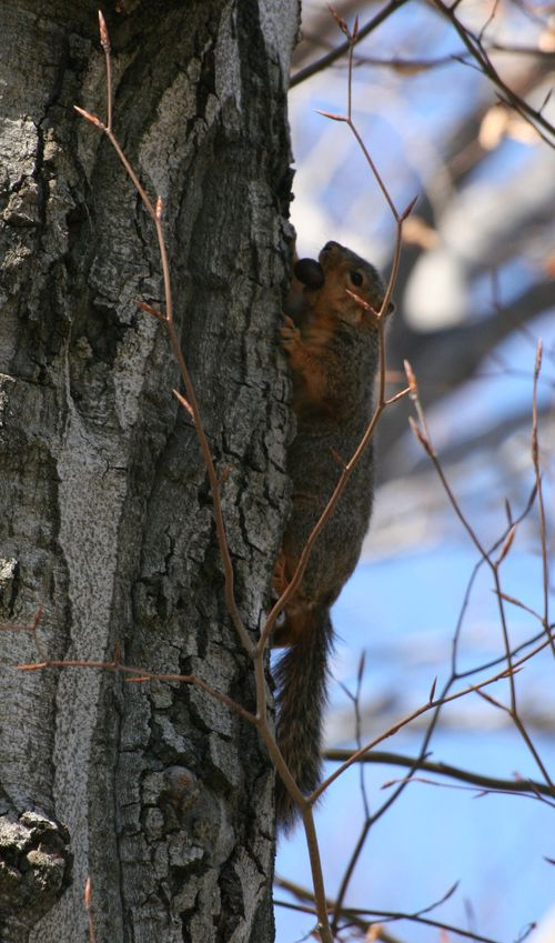 Fox Squirrel 2