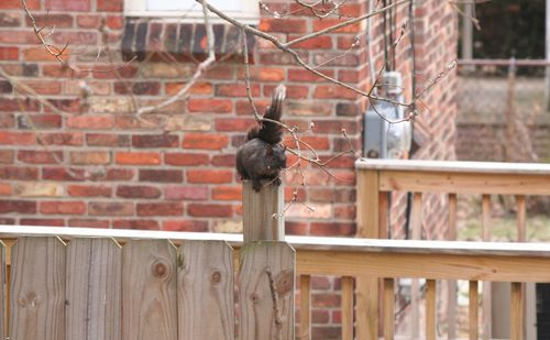 Eastern Gray Squirrel - Black 3