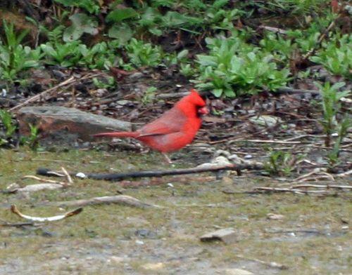 Cardinal - Belle Isle