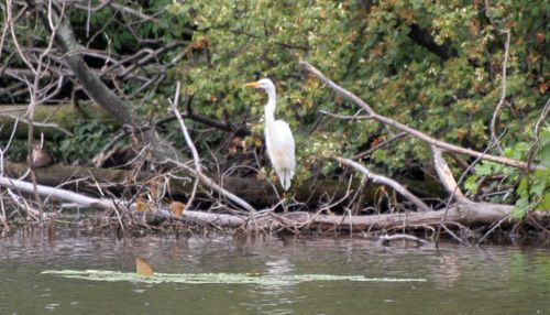 Great Egret 9