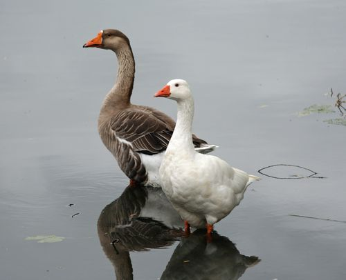 Domestic Geese 2