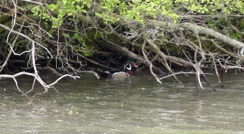 Wood Duck - Adult