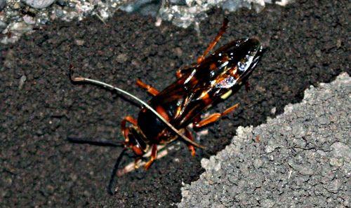Cicada Killer Wasp 4