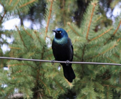 Common Grackle1