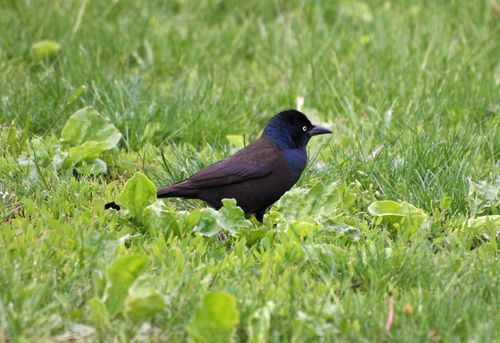 Common Grackle 4