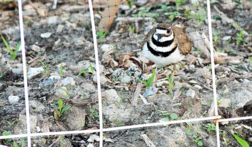 Killdeer Eggs 2
