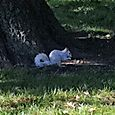 Eastern Gray Squirrel - White