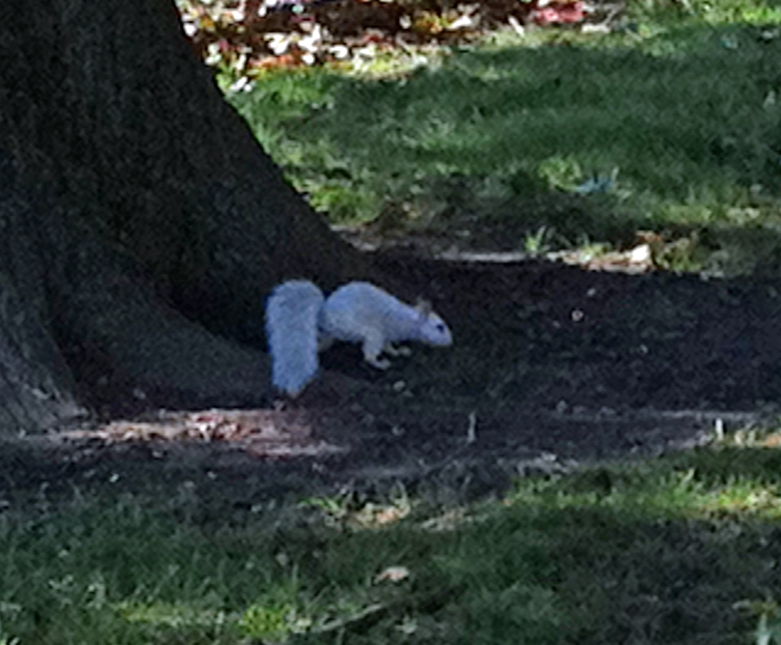 Meaning of white squirrel sighting - White Squirrel 3
