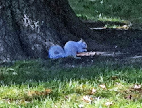 White Squirrel 2