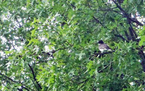Kingbird 3