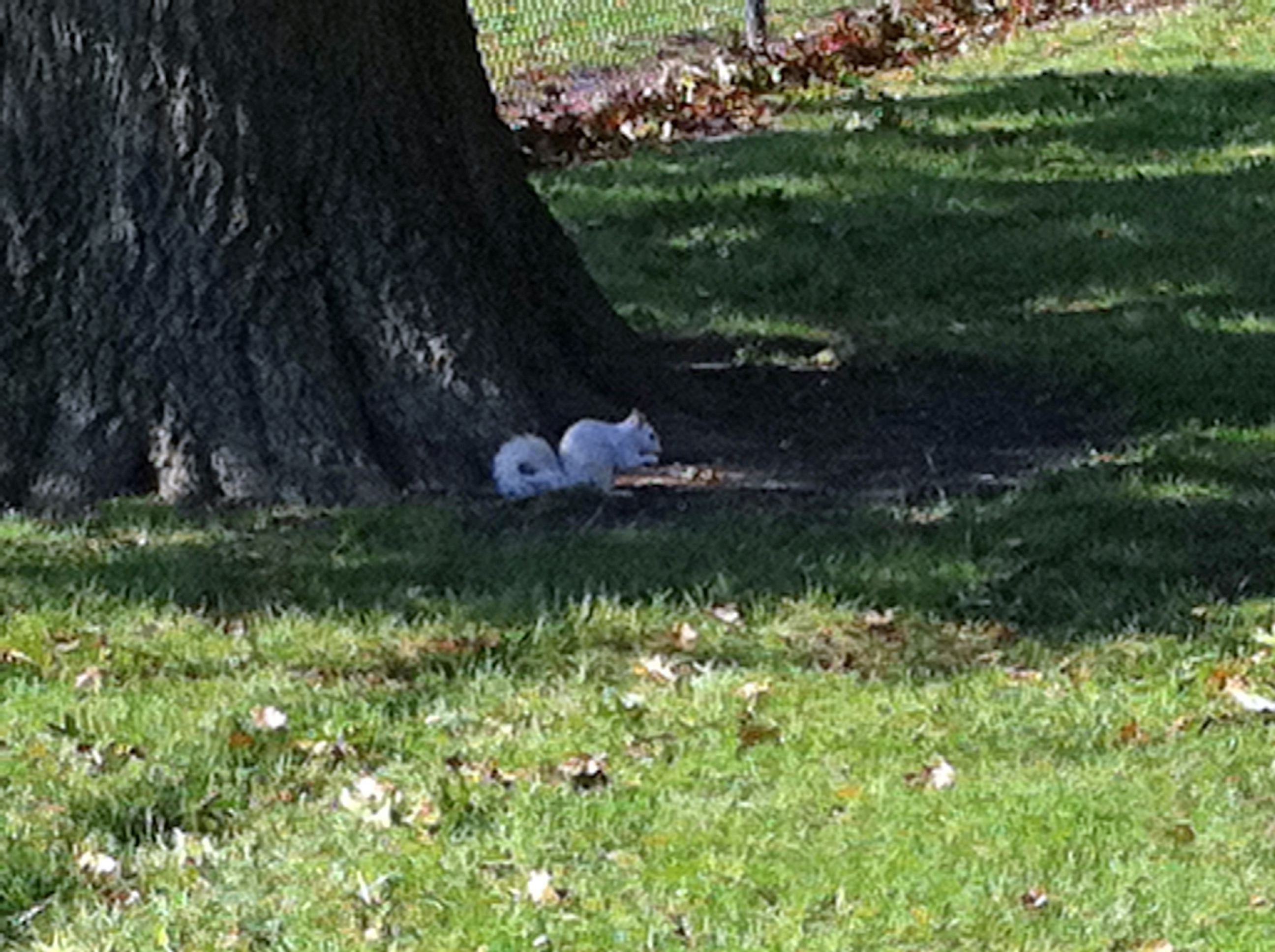 Meaning of white squirrel sighting - White Squirrel 4