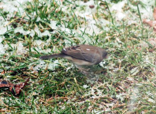 Female Junco 1