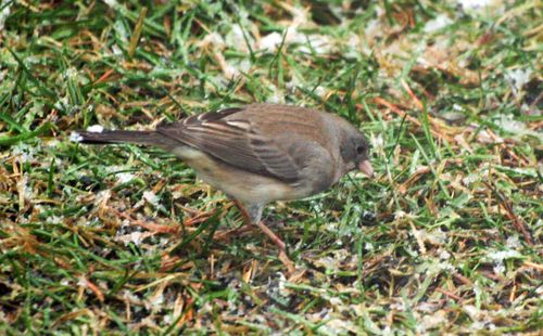 Female Junco 3
