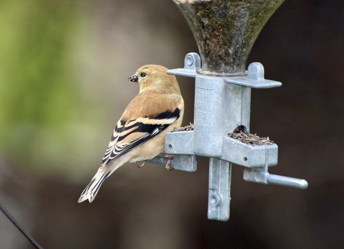 Goldfinch-Winter 1