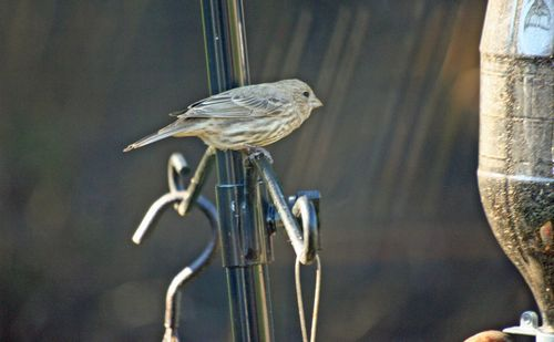 Female Purple Finch 2