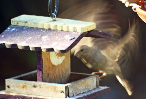 Female Purple Finch-Flying 1