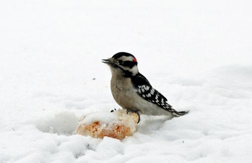 Downy Woodpecker 5