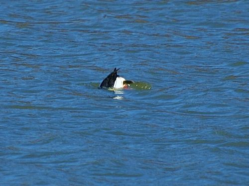 Bufflehead Goes Bottoms Up