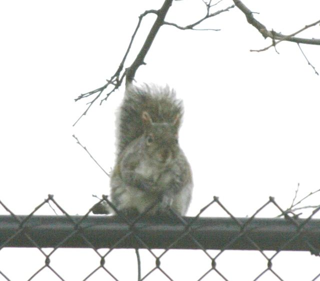 Eastern Gray Squirrel - Gray