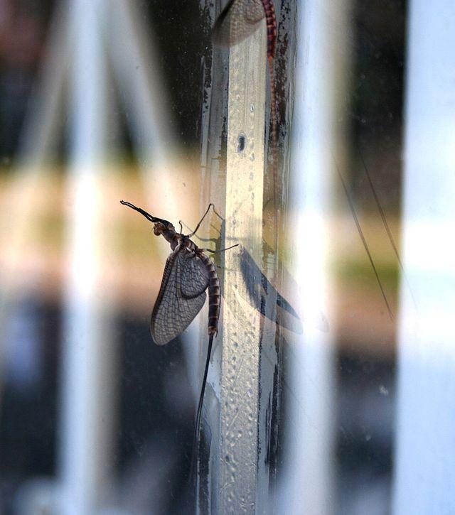 Fishfly (aka Mayfly)