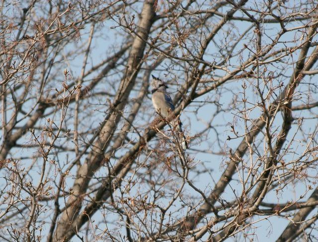 Blue Jay - Male