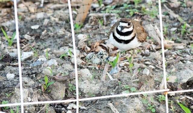 Killdeer - Eggs